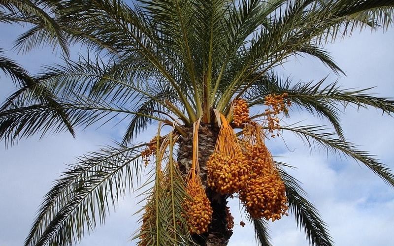 Finikovaya_palma_Финиковая пальма
