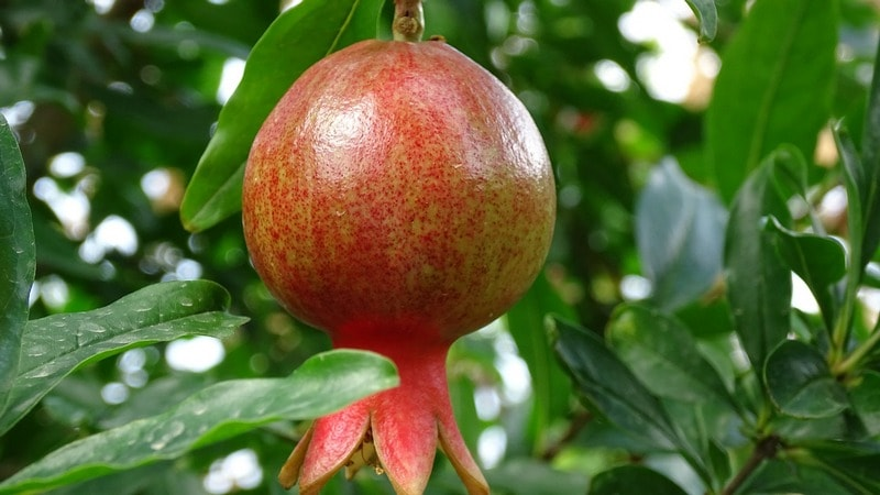 Sozrevanie_ploda__granata_Созревание плода граната
