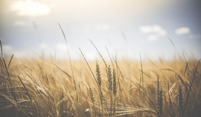 Pshenichnye_otrubi_dlya_pohudeniya_Пшеничные отруби для похудения