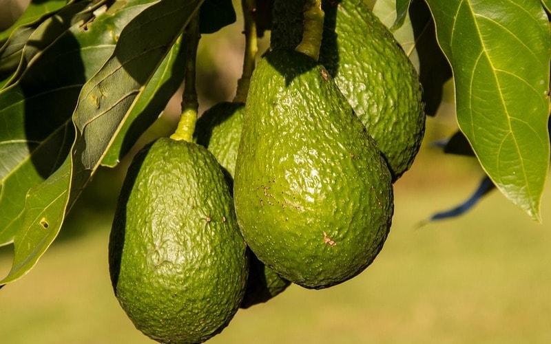 Kak_rastet_frukt_avocado_Как растет фрукт авокадо