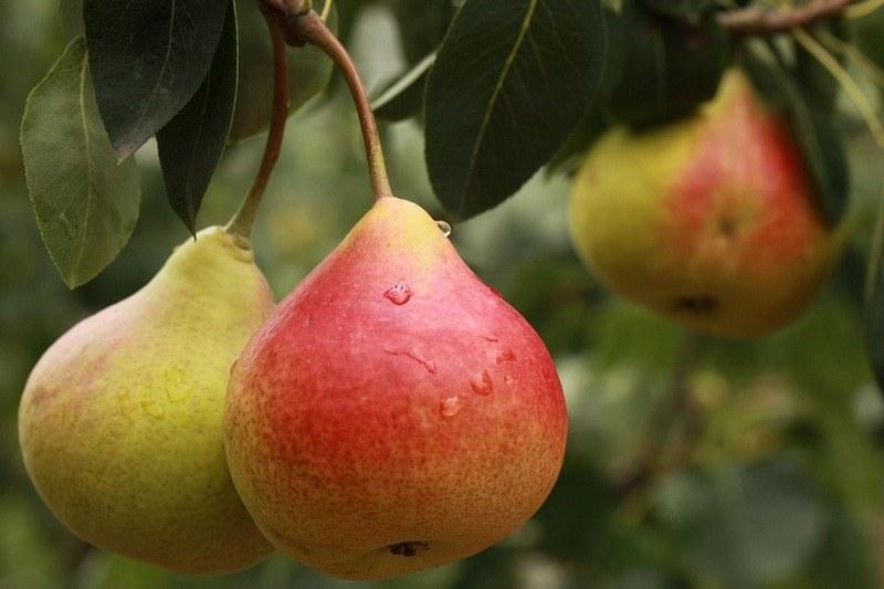 Польза и вред груши для здоровья человека