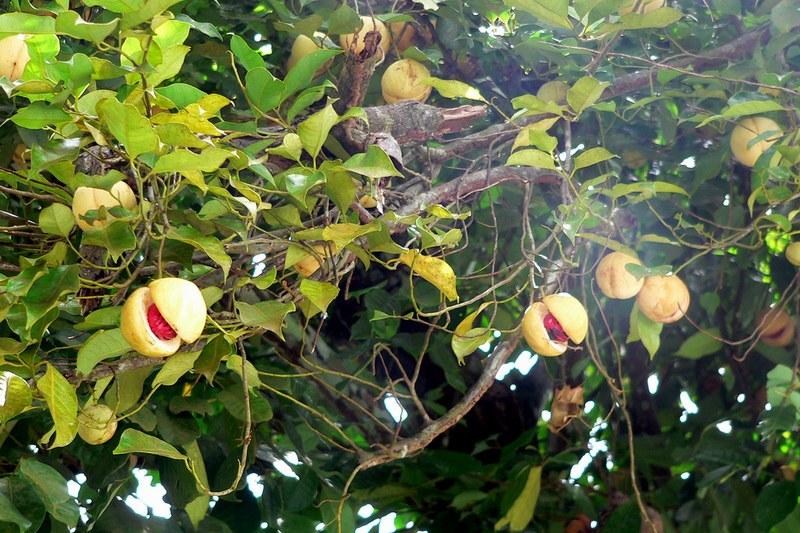 Как растет мускатный орех