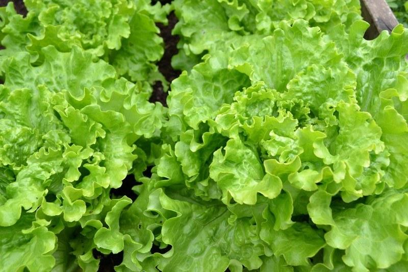 Вред листьев салата