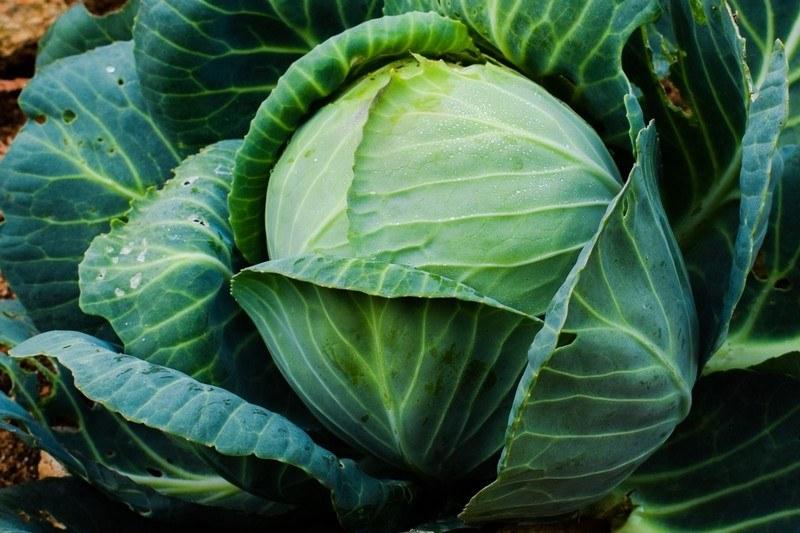 Вред капусты для здоровья человека