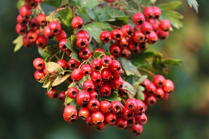 Боярышник - польза и вред ягоды