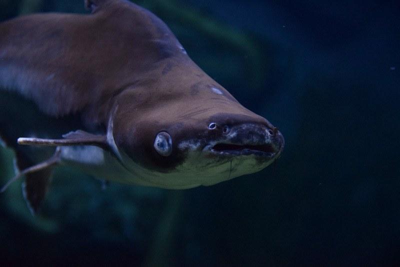 Вред рыбы пангасиус