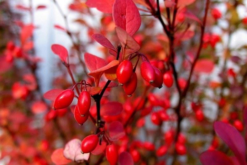 Барбарис - польза и вред ягод