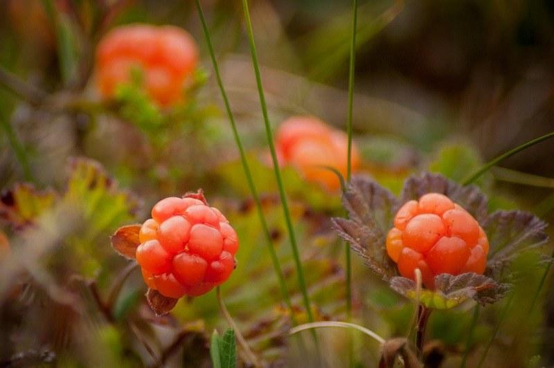 Морошка - полезные свойства ягод