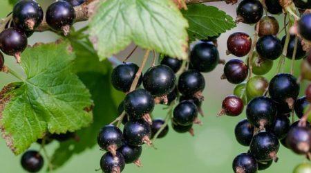 Польза ягод черной смородины