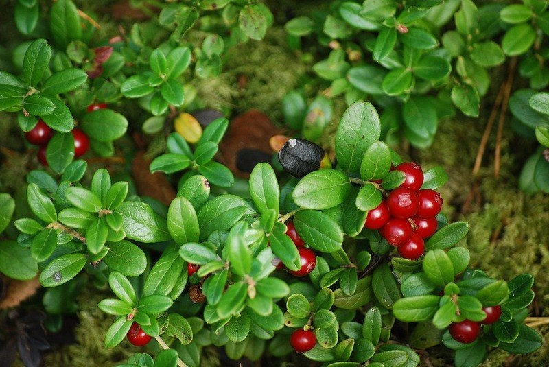 Лечебные свойства листьев брусники