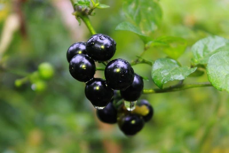 Ягоды санберри - полезные свойства
