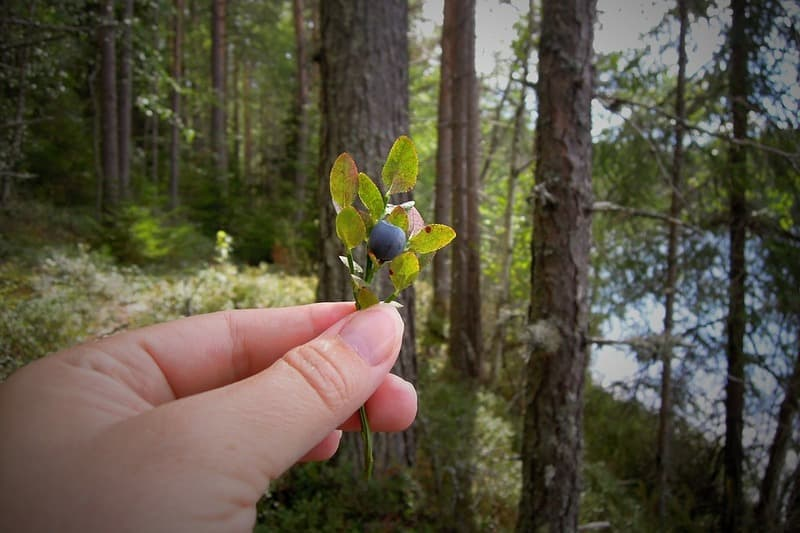 Полезные свойства листьев черники
