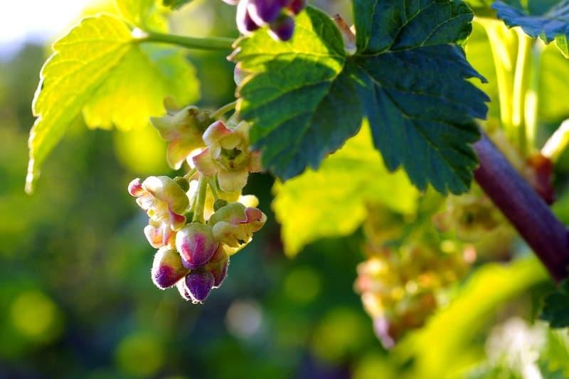 Полезные свойства листьев черной смородины