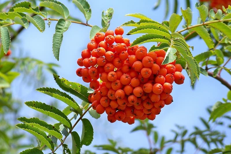 Рябина красная - польза ягод