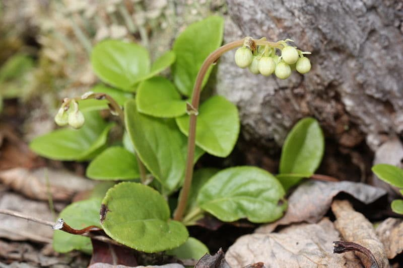 Боровая матка - польза растения
