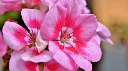Герань - польза цветка