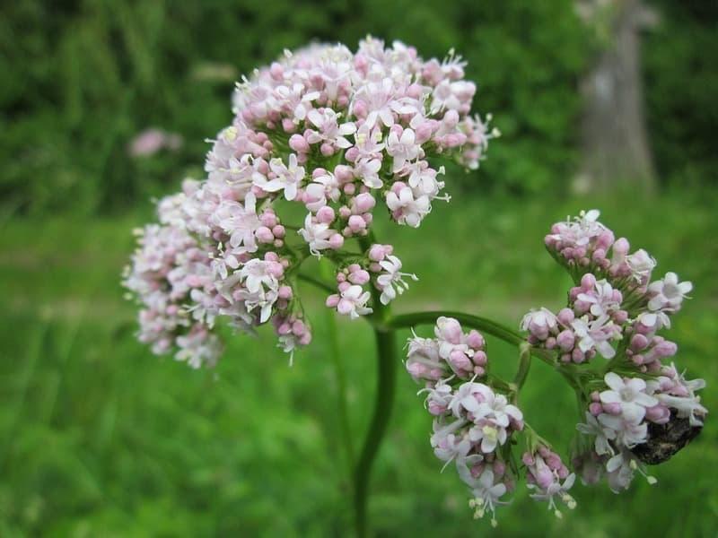 Валериана - польза растения