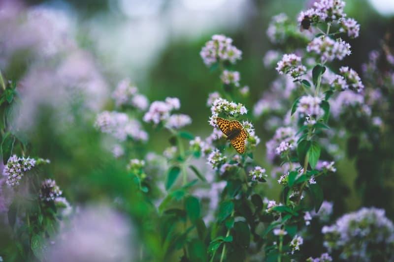 Вред травы душицы