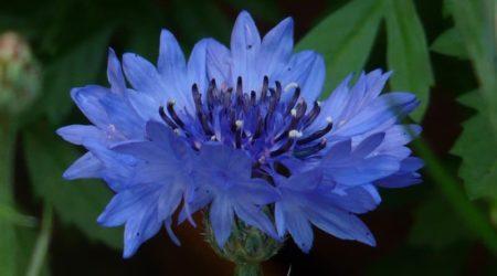 Цветок василек - полезные свойства