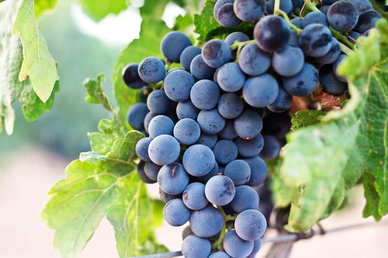 Виноград - ягода или фрукт