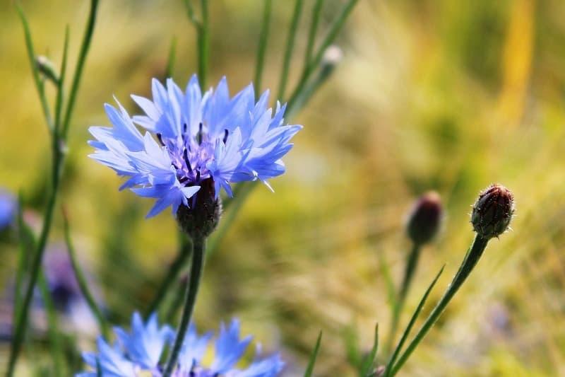 Вредные свойства цветка василек