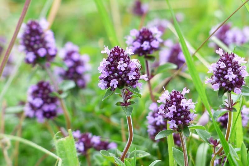 Чабрец - лечебные свойства растения