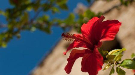 Гибискус - полезные свойства цветка