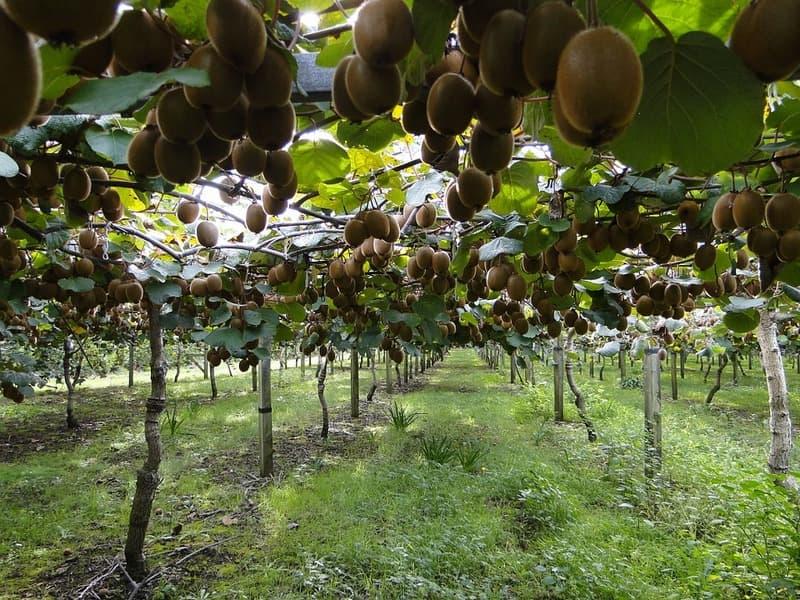 Как растет киви в природе