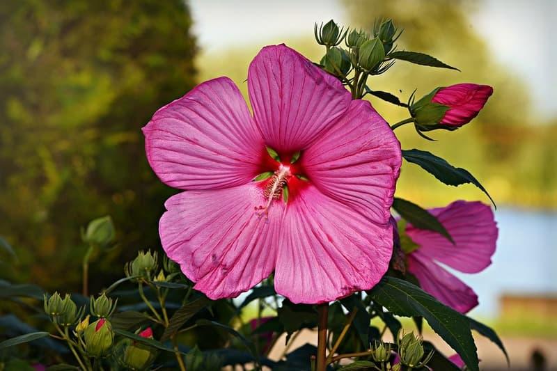 Польза цветов гибискуса