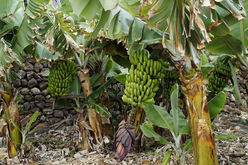 Банановые пальмы - плантация