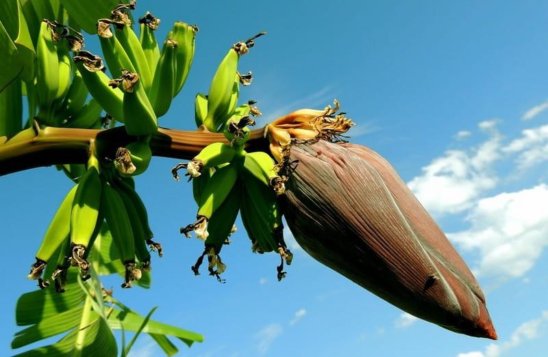 Как цветет банан