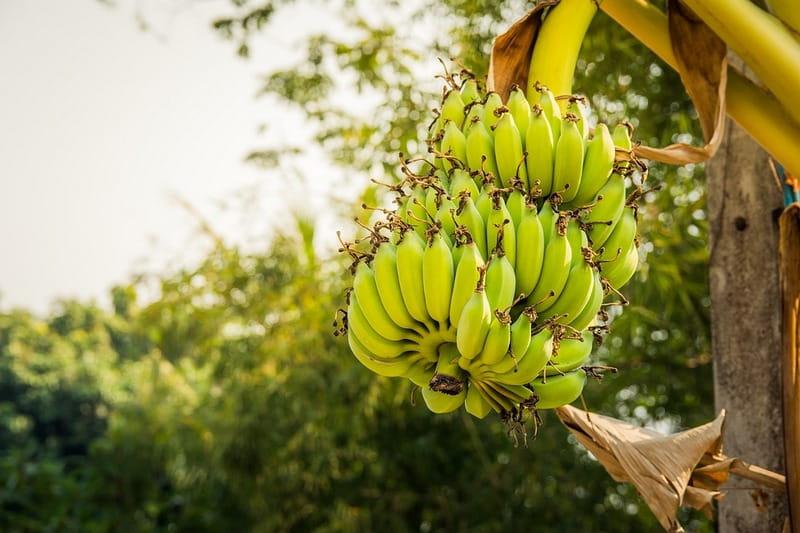 Как растет банан в природе