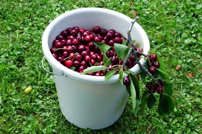 Сколько килограмм в ведре вишни